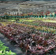 Wholesale Bromeliads - Nursery