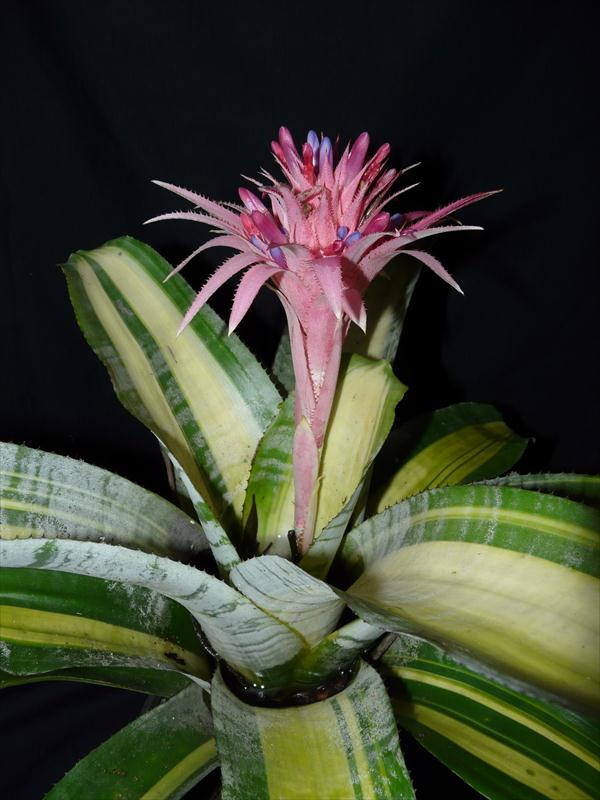 Wholesale bromeliads of australia bromeliad gallery for Aechmea fasciata